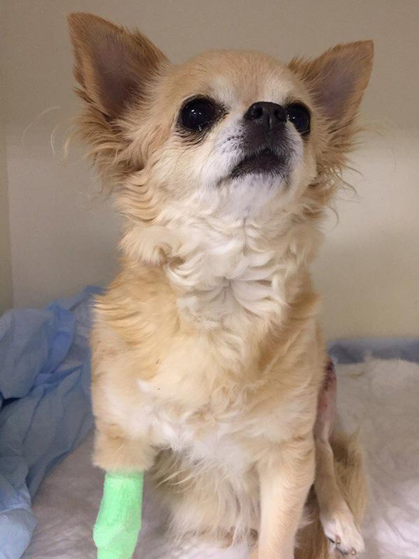 Вывих коленного сустава у собак мелких пород лечение